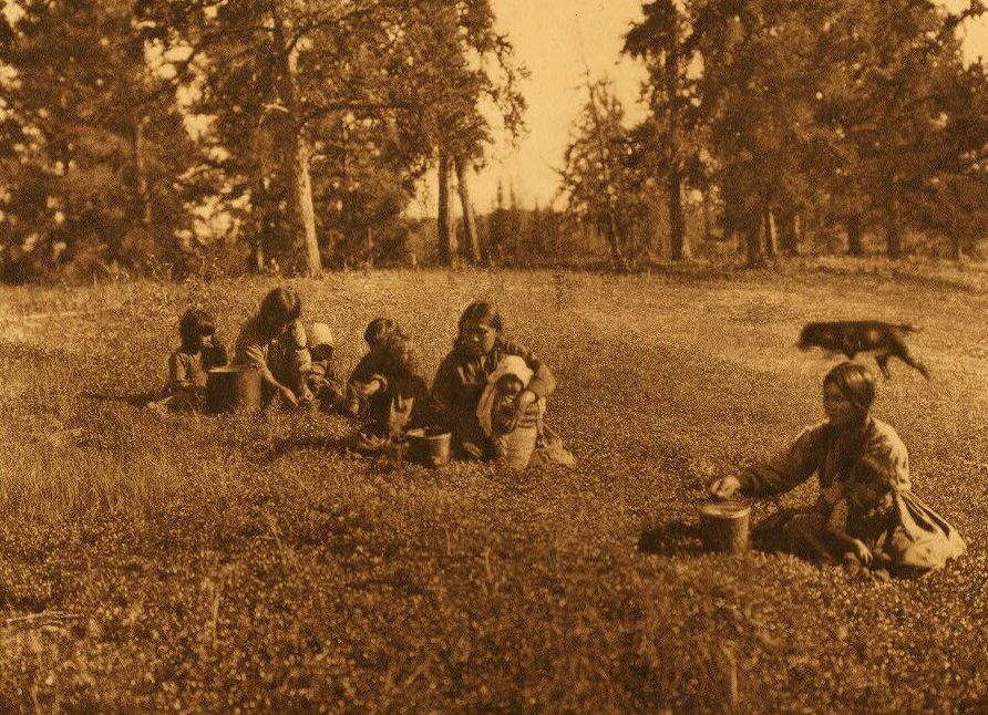 A Photograph of Cree Indians Picking Blueberries.