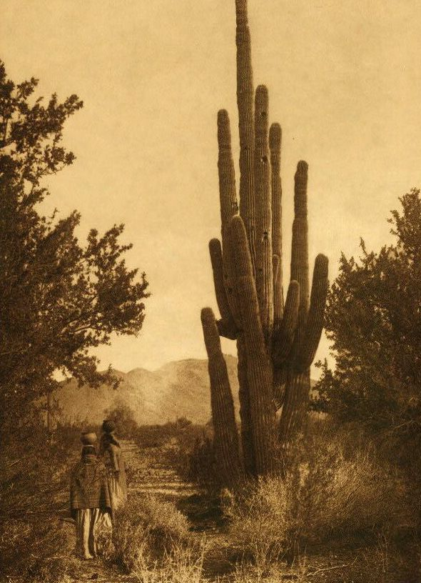 Gathering Cactus Fruit - Pima.