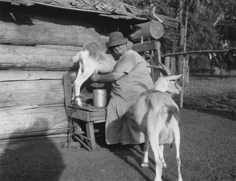 An old photograph of a Yankton Indian Woman Milking a Goat.