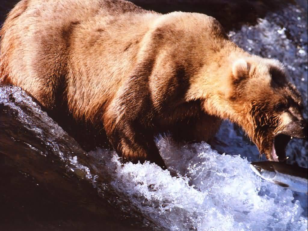 Bear about to catch a Salmon.