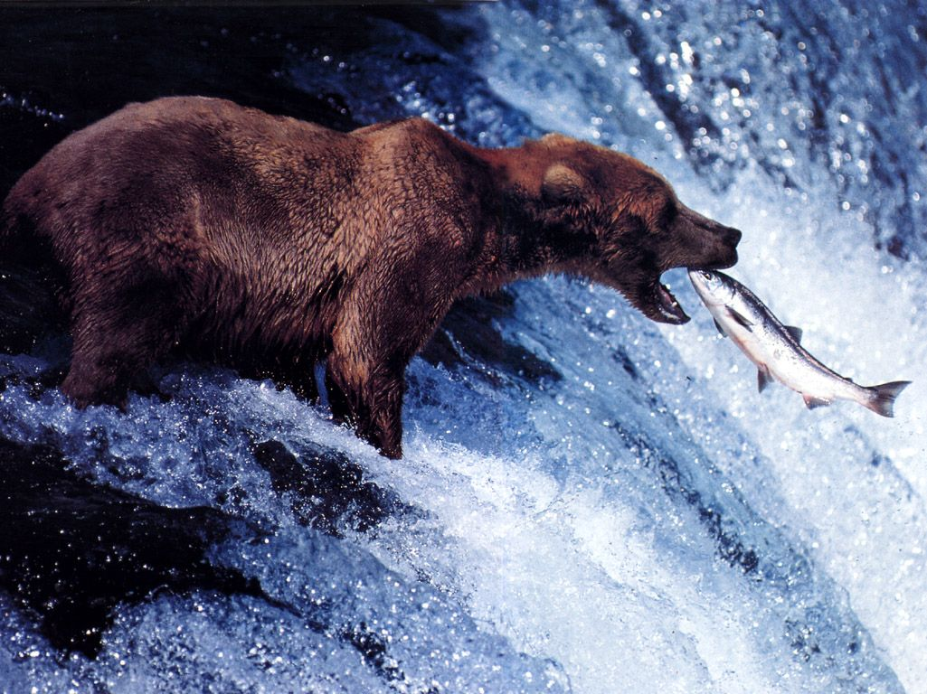 Bear Catching Salmon.