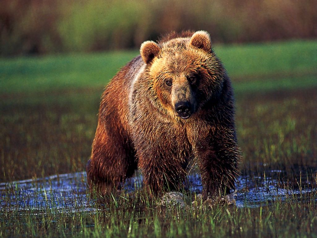 Grizzly Bear In Water.