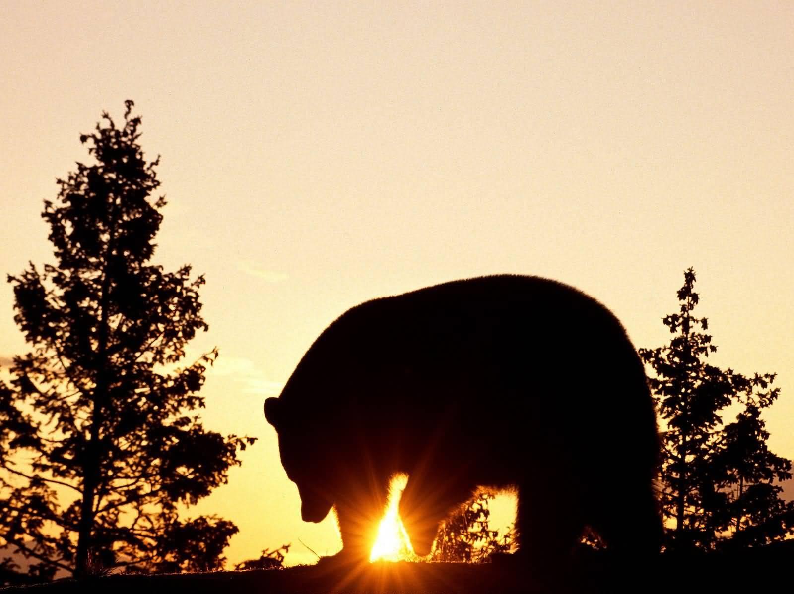 Photos de canada  Black_Bear_at_Sunrise-1600x1200