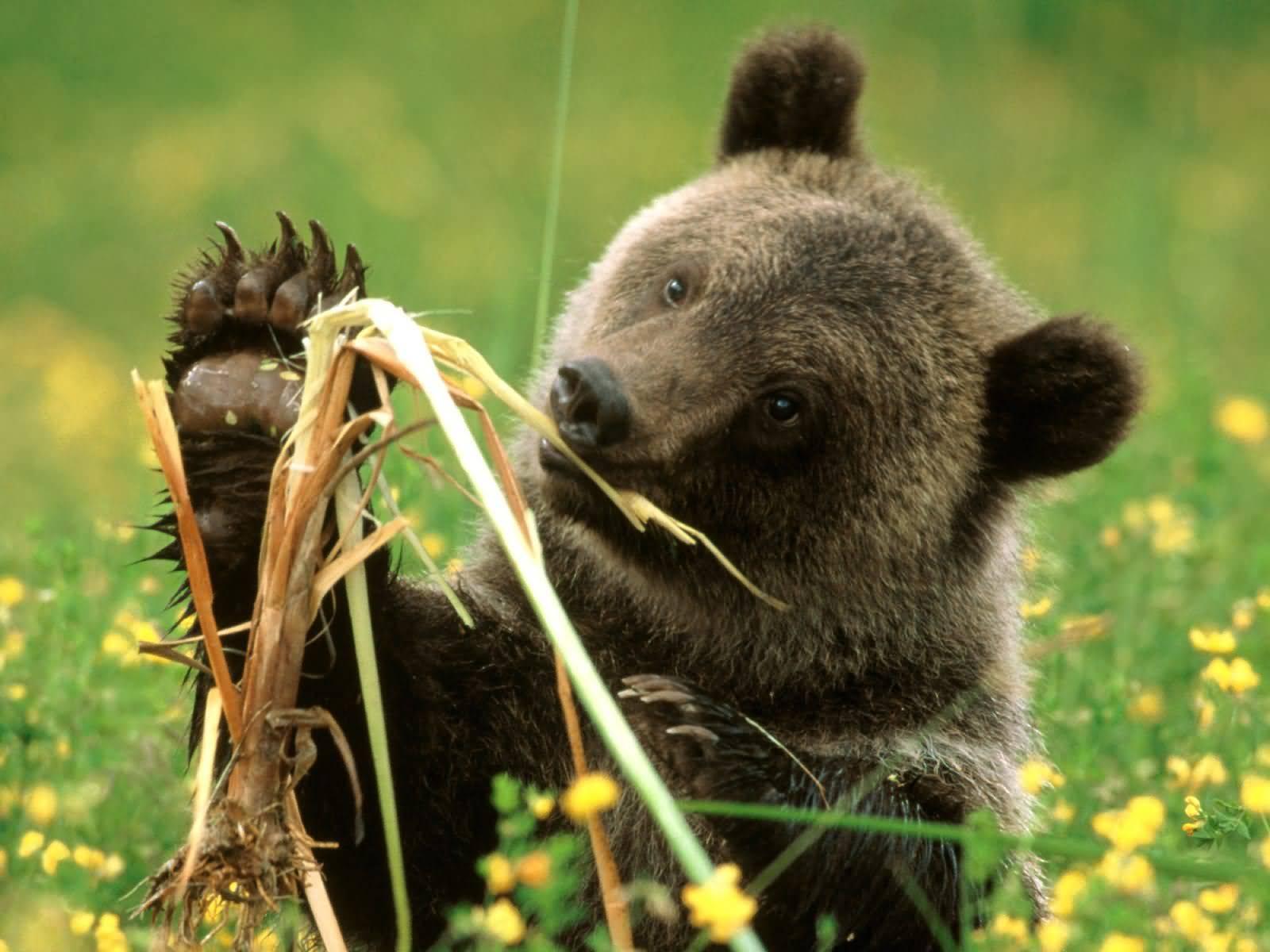 Фотообои с прекрасными медведями.  Amazing Bears HQ Wallpapers.