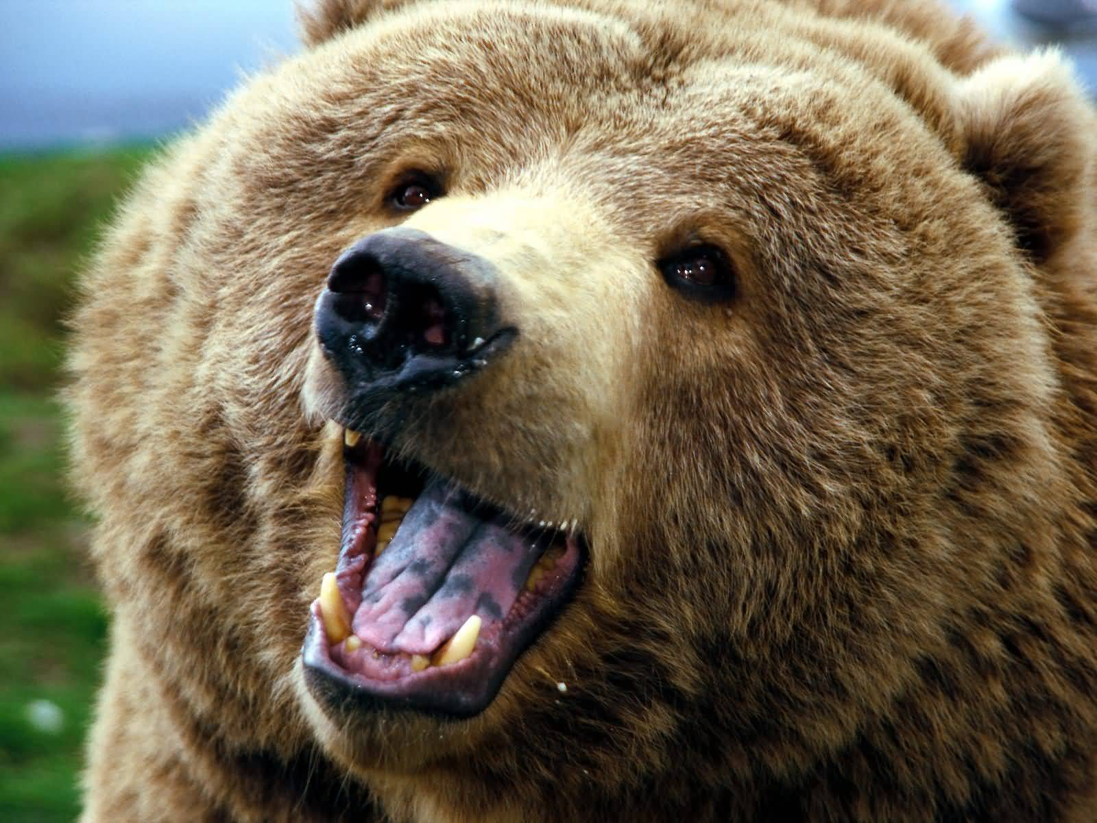 Bear Photographs Grizzly