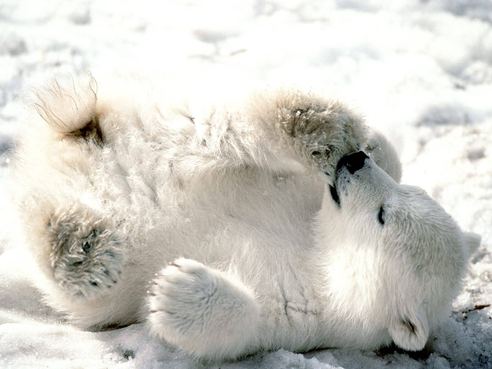 Playful Baby Polar Bear.