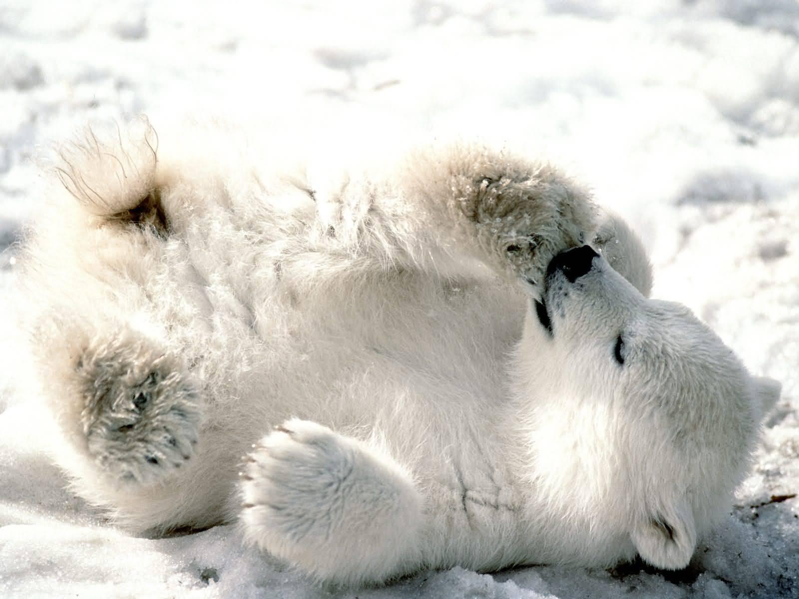 d4de9c3a8cc3b Image 2. playful polar bear cub courtesy of firstpeople.us