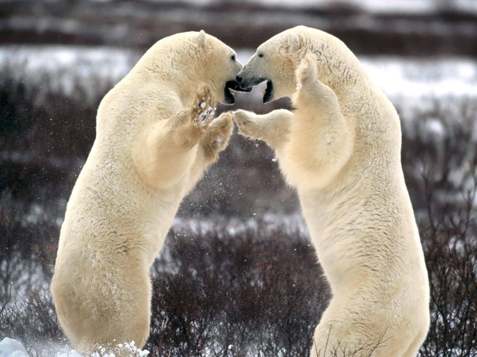 Sparring Polar Bears - Churchill Manitoba, Canada.