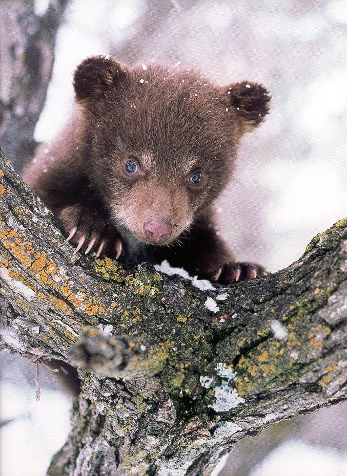 Close Up Of Black Bear Cub.