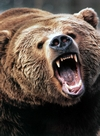 Angry Grizzly Bear.