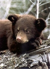 Close Up Of a Resting Black Bear Cub.