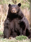Black Bear Sitting Face On.