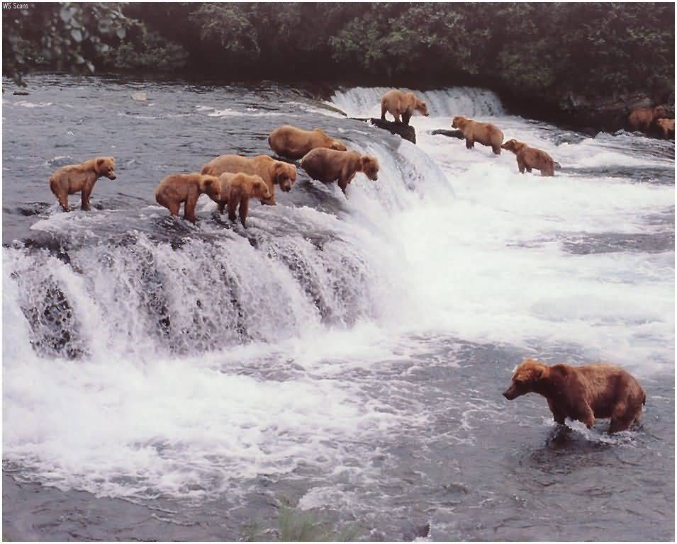 Bears Fishing.