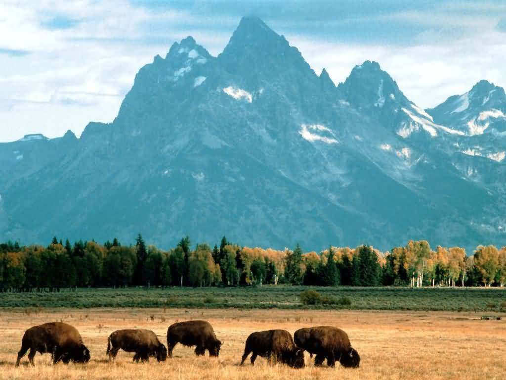 Bison Grazing Grand Teton National Park Wyoming.