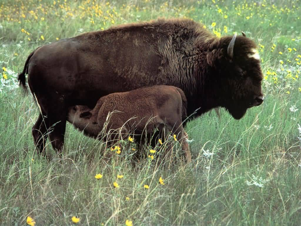 Buffalo and Calf at Nebraska Fort Niobrara National Wildlife Refuge.