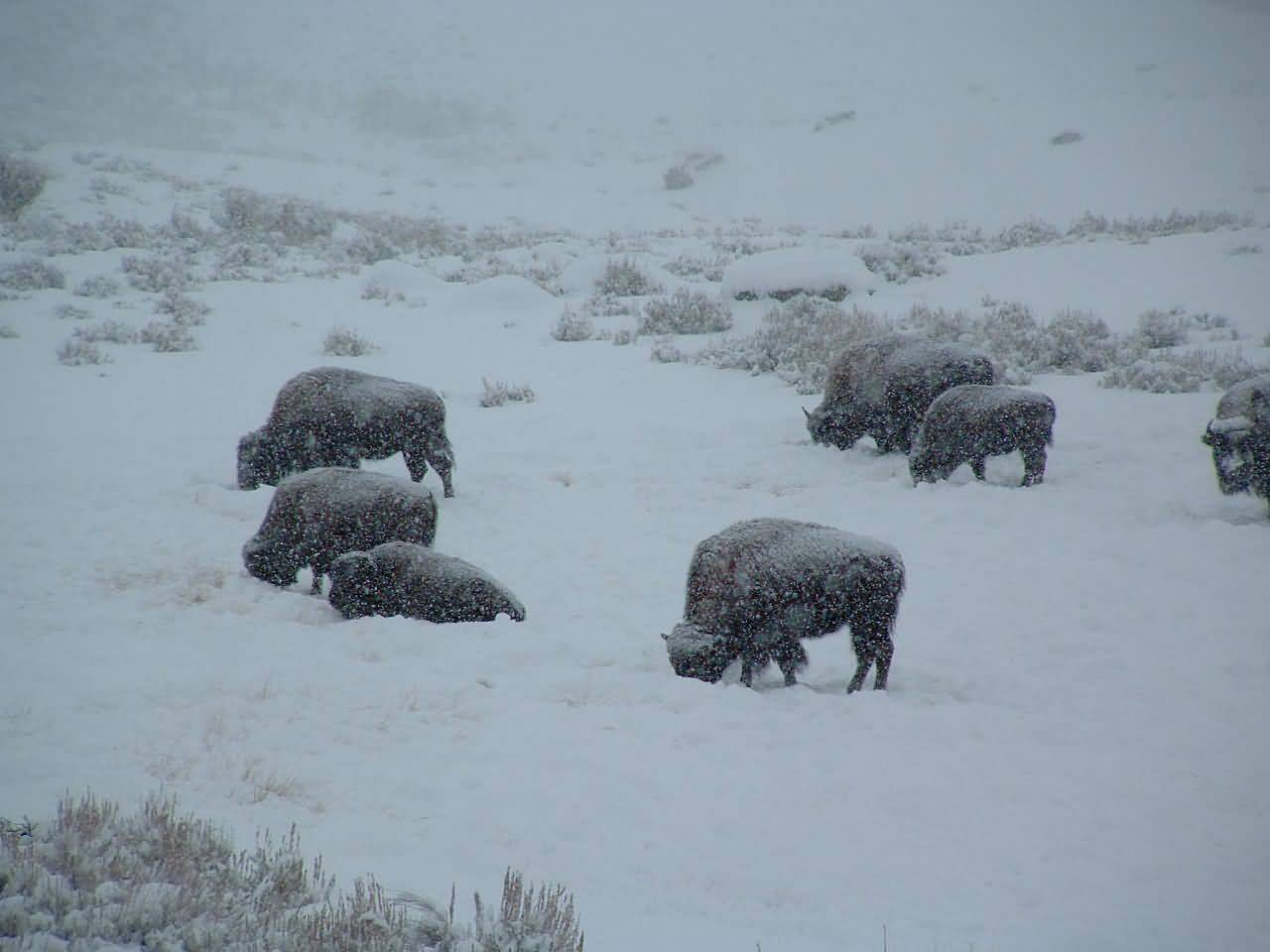 Buffalo Herd Feeding In Snow #1.