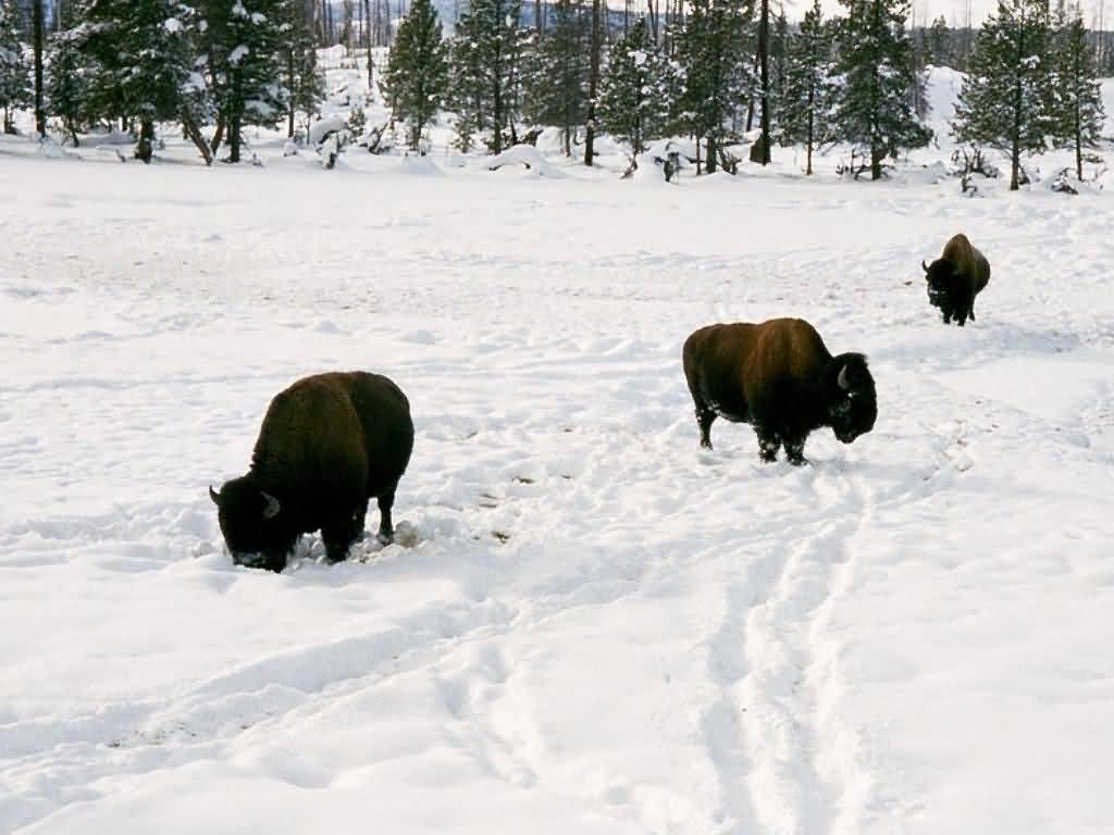 Buffalo Herd Feeding In Snow #2.