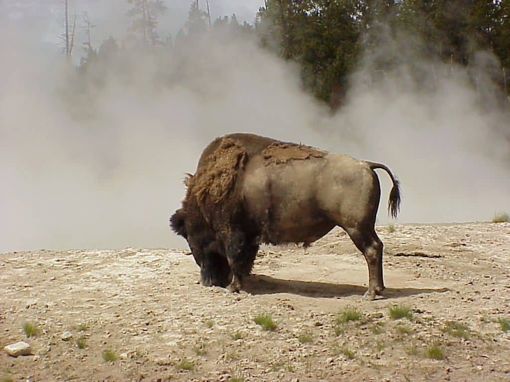 Buffalo With Fog.