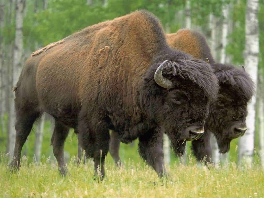 Pair of Buffalo.