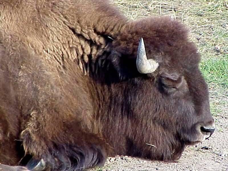 Buffalo Profile 2 Of 4