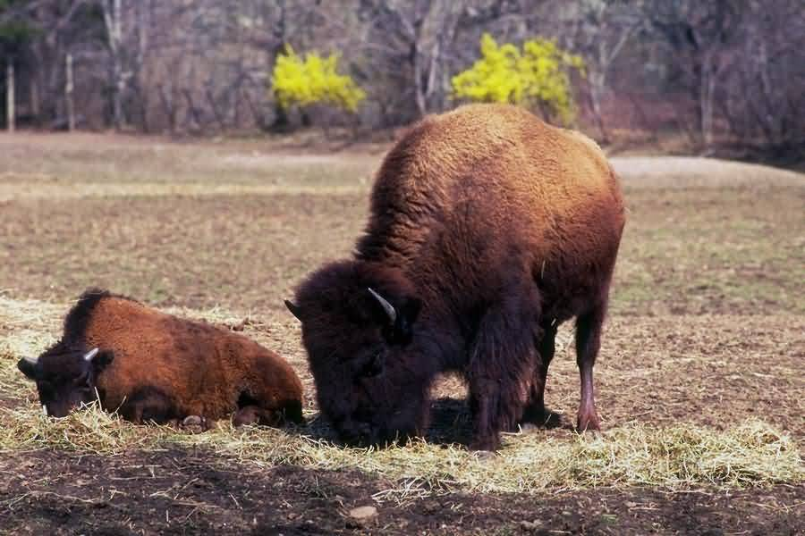 Two Bison Grazing.