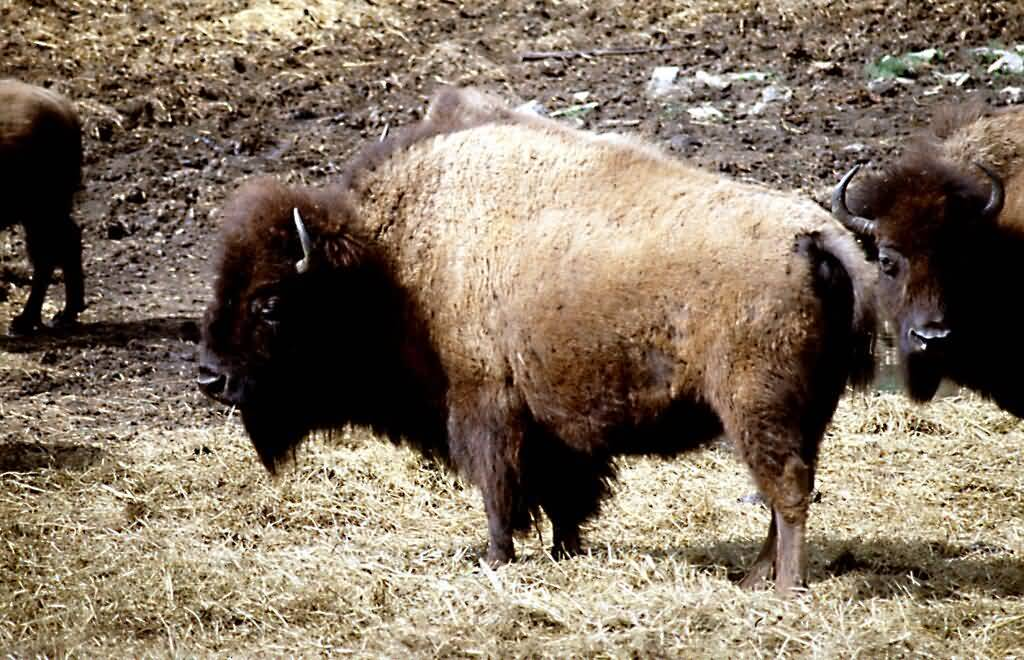 American Bison Profile.