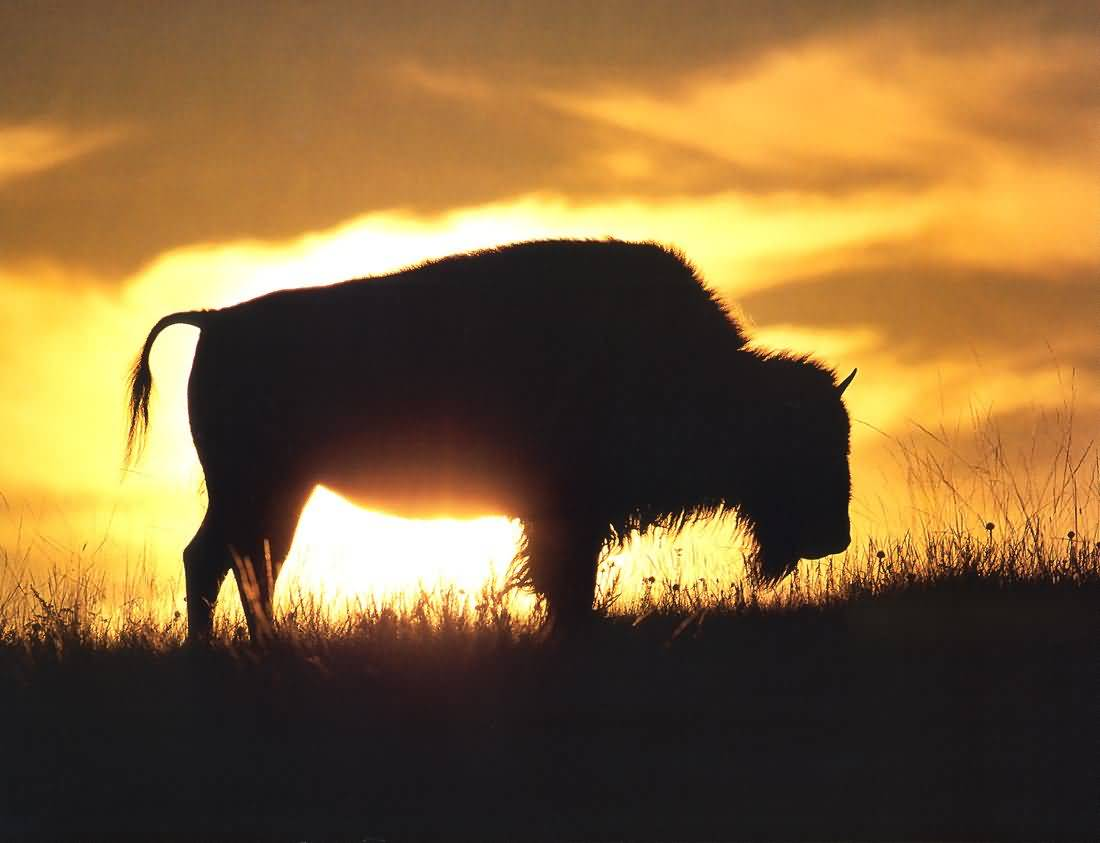 Bison at Sunset.