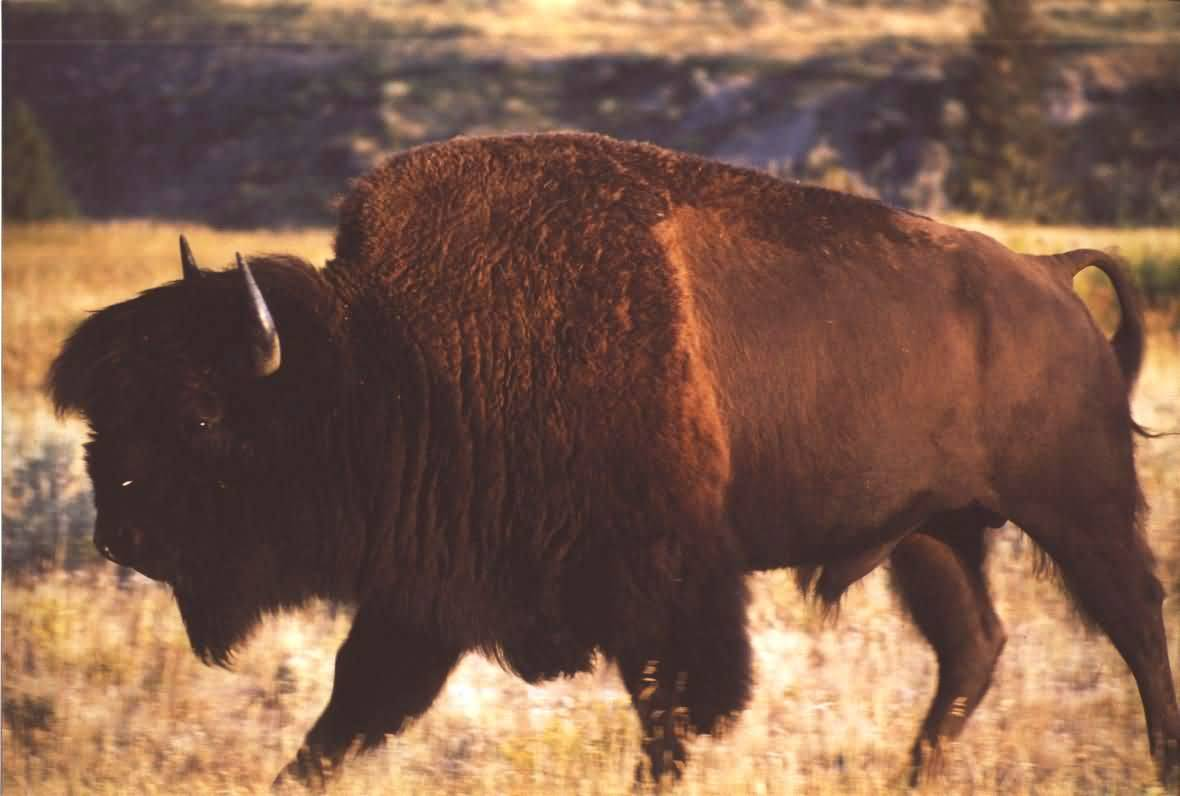 Buffalo Profile.