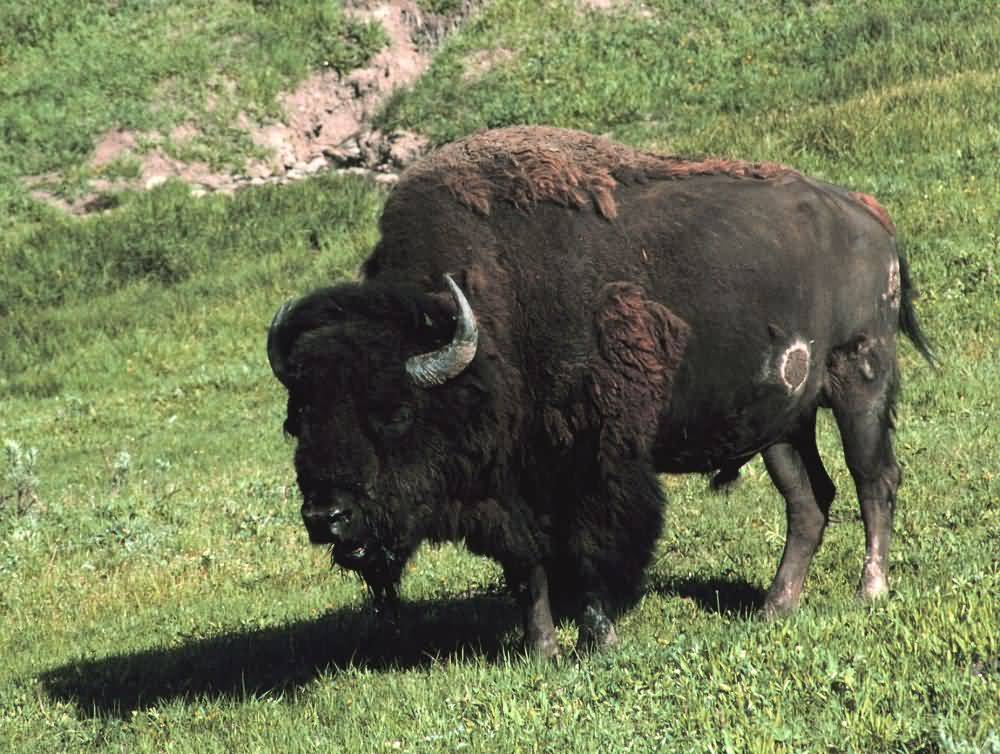 an analysis of american buffalo Of the remaining american bison population  buffalo are old world animals and through dna analysis it was determined that the two american subspecies.