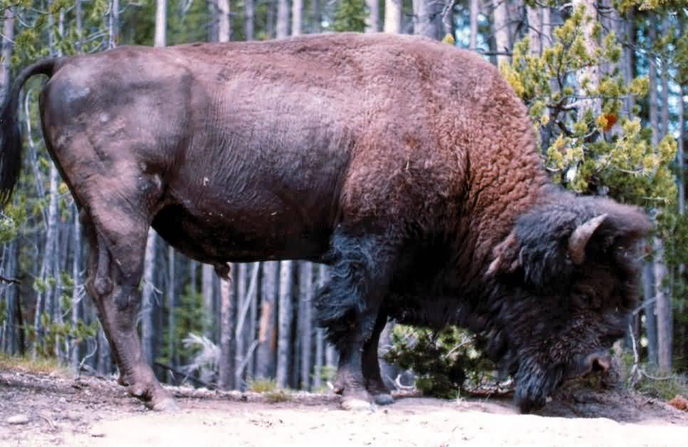 American Buffalo Profile.