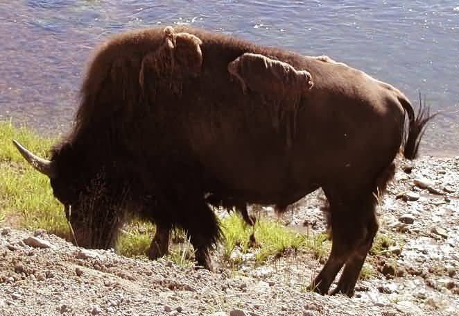 An American Bison Feeding.