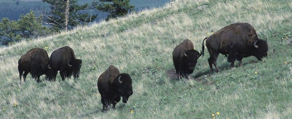 American Buffalo Herd Feeding.