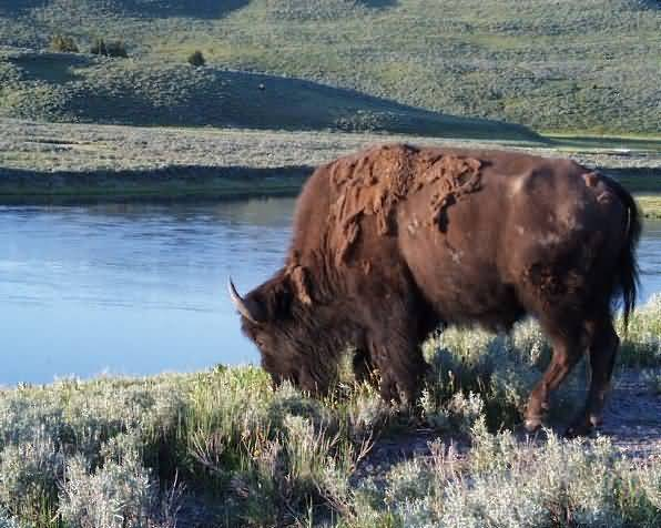 Buffalo on the Open Prairie. Yellowstone Park, Wyoming.
