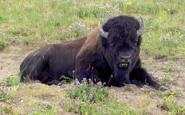 A photograph of an American Bison (Buffalo) taking a rest.