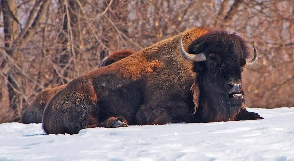 A photograph of an American Bison (Buffalo) taking a rest in the snow.