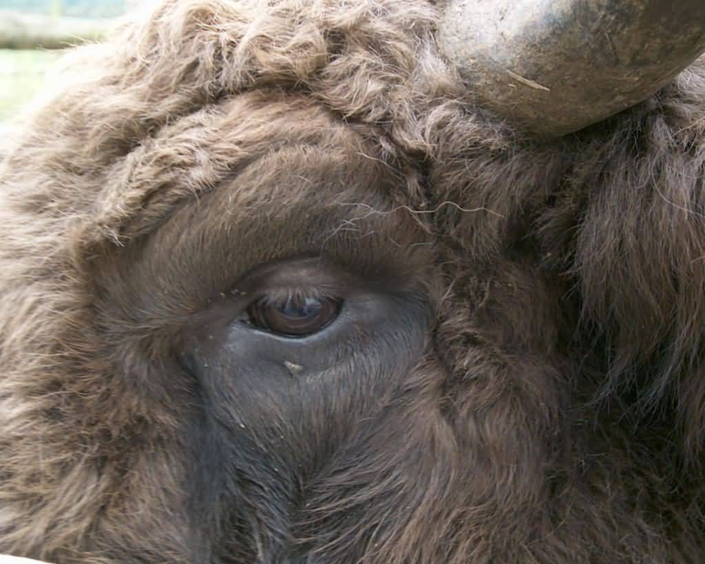 Close Up of Buffalo Face.