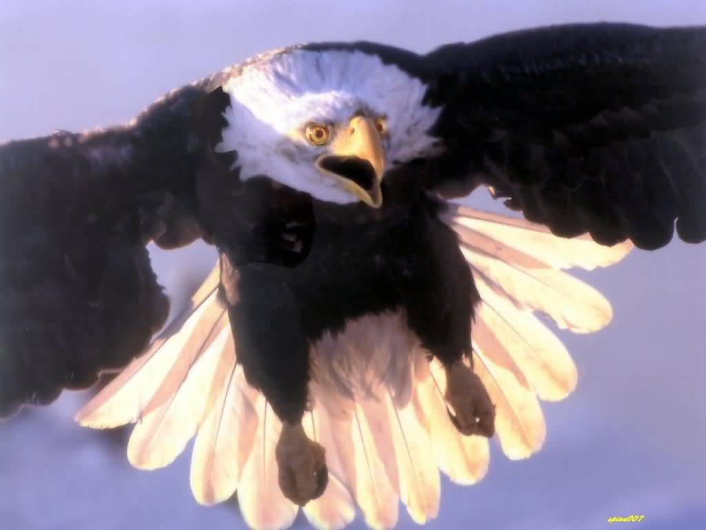A photograph of a bald eagle in flight, head on. 1024x768 desktop wallpaper size.