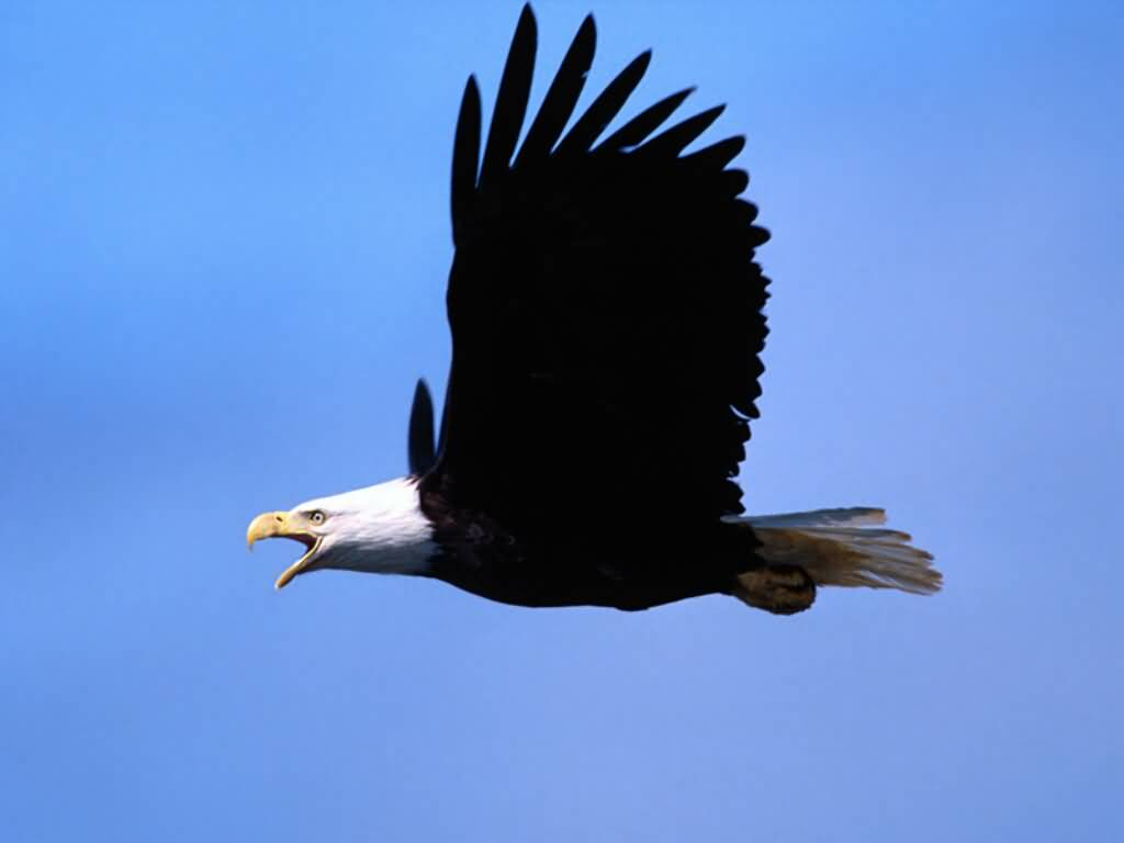 Bald Eagle - Call of the Wild. 1024x768 desktop wallpaper size.