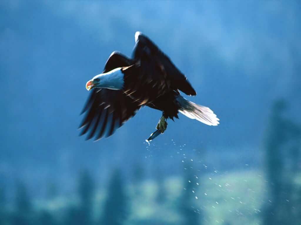 A photograph of a bald eagle with a fish in its talons. 1024x768 desktop wallpaper size.