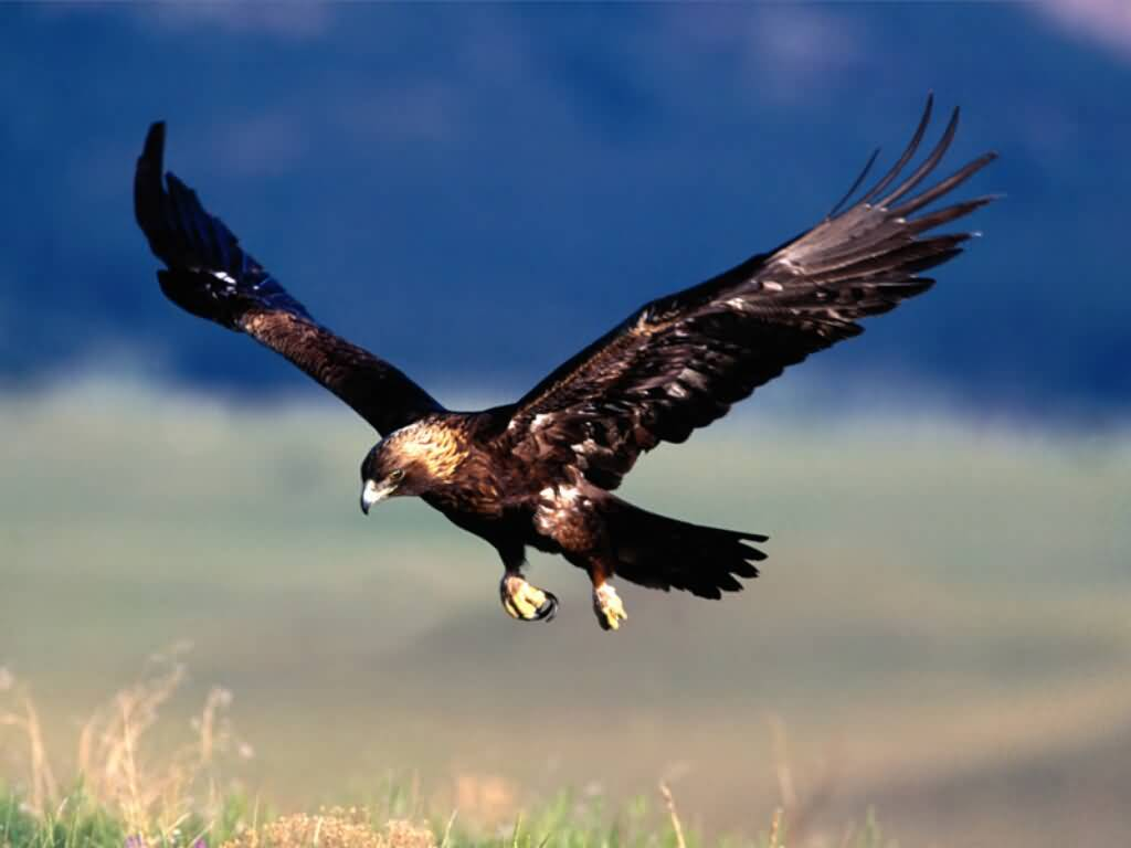 A photograph of a Golden Eagle about to land. 1024x768 desktop wallpaper size.