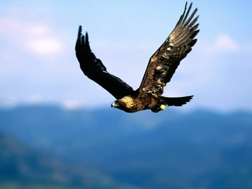 A photograph of a Golden Eagle soaring high in the sky. 1024x768 desktop wallpaper size.