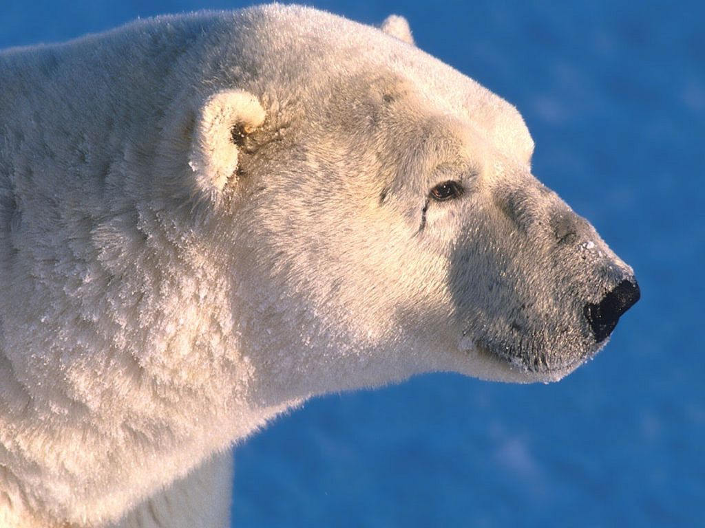 Polar Bear : Closeup Profile.
