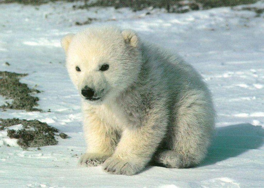 Polar Bear : Cute Polar Bear Cub Sitting on Snow.
