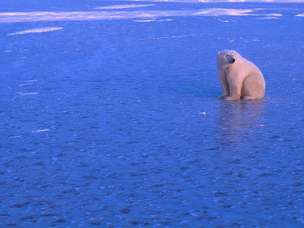 Polar Bear : Lone Bear on Ice.