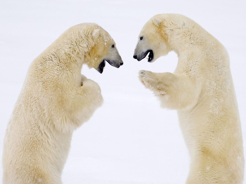 Polar Bear : Male Bears Sparring - Hudson Bay, Manitoba, Canada.