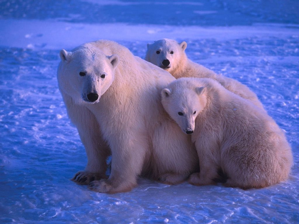 Polar Bear : Mother and Cubs.