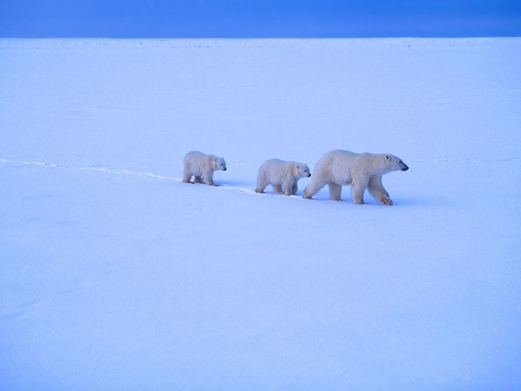 Polar Bear : Mother and Two Cubs.