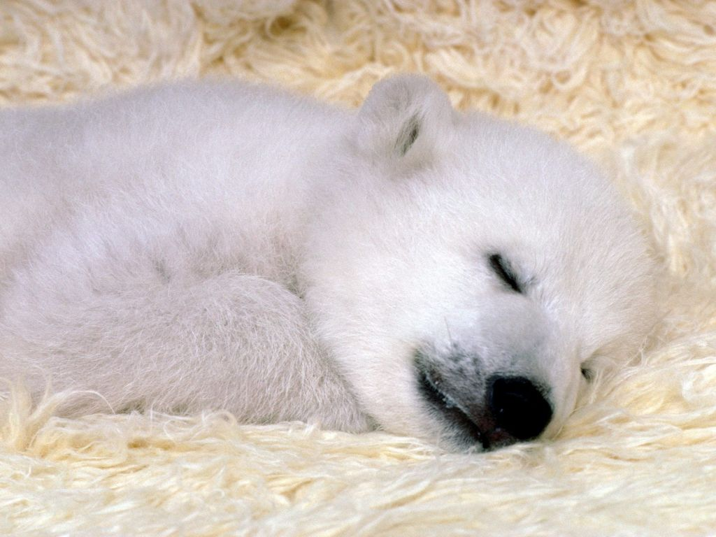 "Polar Bear : ""Peaceful Dreams"" Polar Bear."