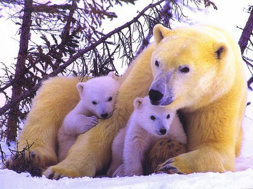 Polar Bears : Polar Bear and Cubs.