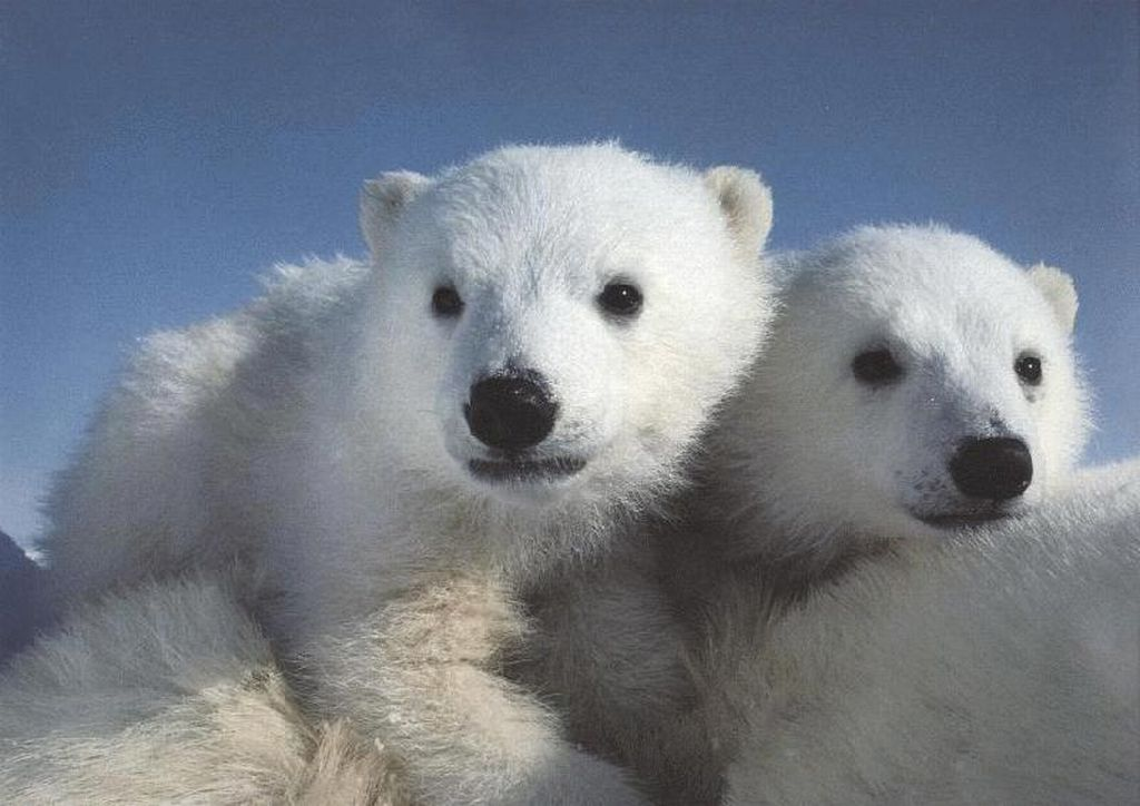 Polar Bears : Polar Bear Cubs Riding Moms Back.